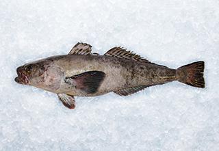 mobile-antarctic-toothfish-320-221px hi 1