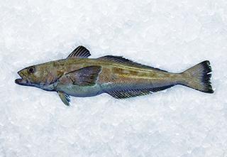 mobile-patagonian-toothfish-320-221px hi 1